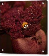 Ladybug In Chocolate Acrylic Print