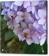 Ladybug On Hydrangea Acrylic Print
