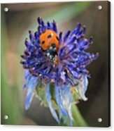 Ladybug On Purple Flower Acrylic Print