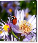 Ladybug Shows Her Heart Acrylic Print