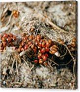 Ladybugs En Masse Acrylic Print