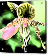 Lady's Slipper Orchid Acrylic Print