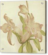 Laelia Autumnalis Venusta Acrylic Print