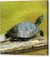 Laidback Turtle Acrylic Print