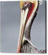 La Jolla Pelican Acrylic Print