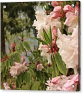 Lake Crescent Lodge Rhododendrons Acrylic Print