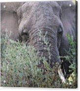 Lake Manyara Elephant Acrylic Print