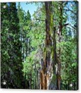 Lake Tahoe Tree Acrylic Print