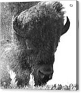 Lamar Valley Bison Black And White Acrylic Print
