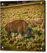 Lamar Valley Buffalo Acrylic Print