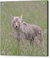 Lamar Valley Coyote Acrylic Print
