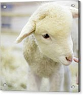 Lamb At Denver Stock Show Acrylic Print