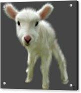 Lamb Chop Acrylic Print