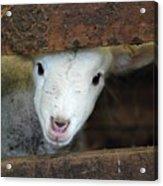 Lamb Acrylic Print by Christy Majors