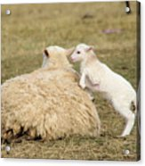 Lamb Jumping On Mom Acrylic Print
