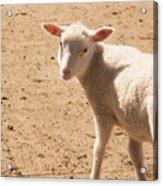 Lamb Looking Cute. Acrylic Print