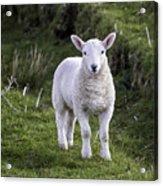 Lamb On The Isle Of Skye Acrylic Print