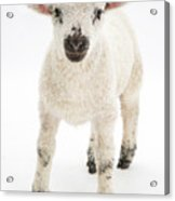 Lamb Standing Acrylic Print