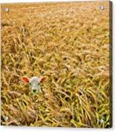 Lamb With Barley Acrylic Print by Meirion Matthias