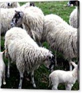 Lambs And Sheep Acrylic Print
