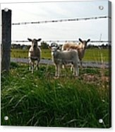 Lambs Behind The Wire Acrylic Print
