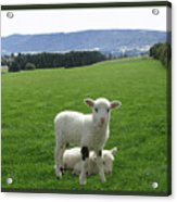 Lambs In Pasture Acrylic Print