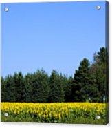 Land Of Sunflowers Acrylic Print