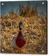 Landed Duck #g2 Acrylic Print