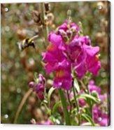 Landing Bumblebee Acrylic Print