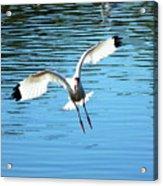 Landing Ibis Acrylic Print