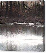 Landing Trumpeter Swans Acrylic Print