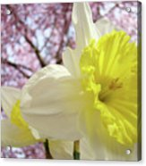 Landscape Daffodils Flowers Art Pink Tree Blossoms Spring Baslee Acrylic Print