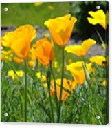 Landscape Poppy Flowers 5 Orange Poppies Hillside Meadow Art Acrylic Print