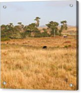 Landscape With Cows Grazing In The Field . 7d9957 Acrylic Print