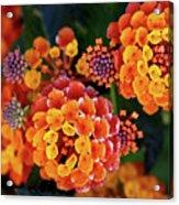Lantana Blooms Acrylic Print