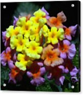 Lantana Flower Chips Acrylic Print