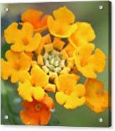 Lantana Flower Acrylic Print