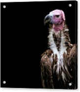 Lappet-faced Vulture - Africa - African Vulture - Nubian Vulture Acrylic Print