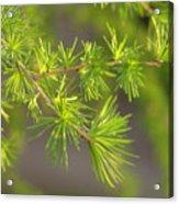 Larch Branch And Foliage Acrylic Print