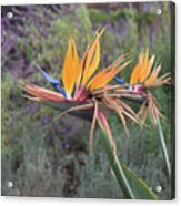 Large Bird Of Paradise Flower In Full Bloom  Acrylic Print