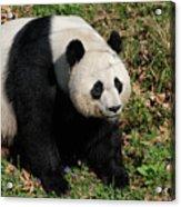 Large Black And White Giant Panda Bear Sitting Acrylic Print
