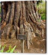 Large Cypress Tree Trunk In Carmel Mission-california  Acrylic Print