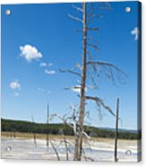 Large Dead Standing Tree In Hot Springs  Acrylic Print