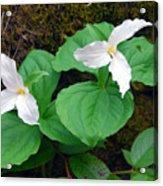 Large Flower Trillium Pair Acrylic Print