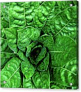Large Green Display Of Concentric Leaves Acrylic Print