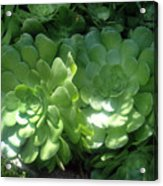 Large Green Succulent Plants Acrylic Print
