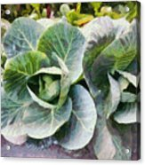 Large Leaves Of A Cabbage Plant Acrylic Print