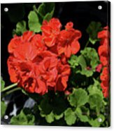 Large Red Begonia Bloom Acrylic Print