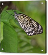 Large White Tree Nymph Butterfly On Green Foliage Acrylic Print