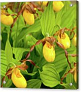 Large Yellow Lady's Slipper  Acrylic Print